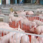 China Everbright's Mezzanine Fund Invests In Hog Farming Firm Sichuan Dekang